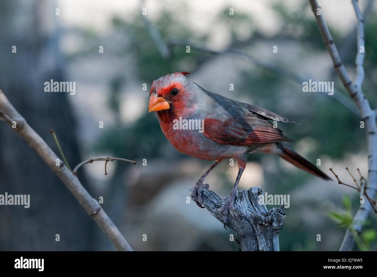 Pyrrhuloxia or Desert cardinal (Cardinalis sinuatus), Arizona - Stock Image