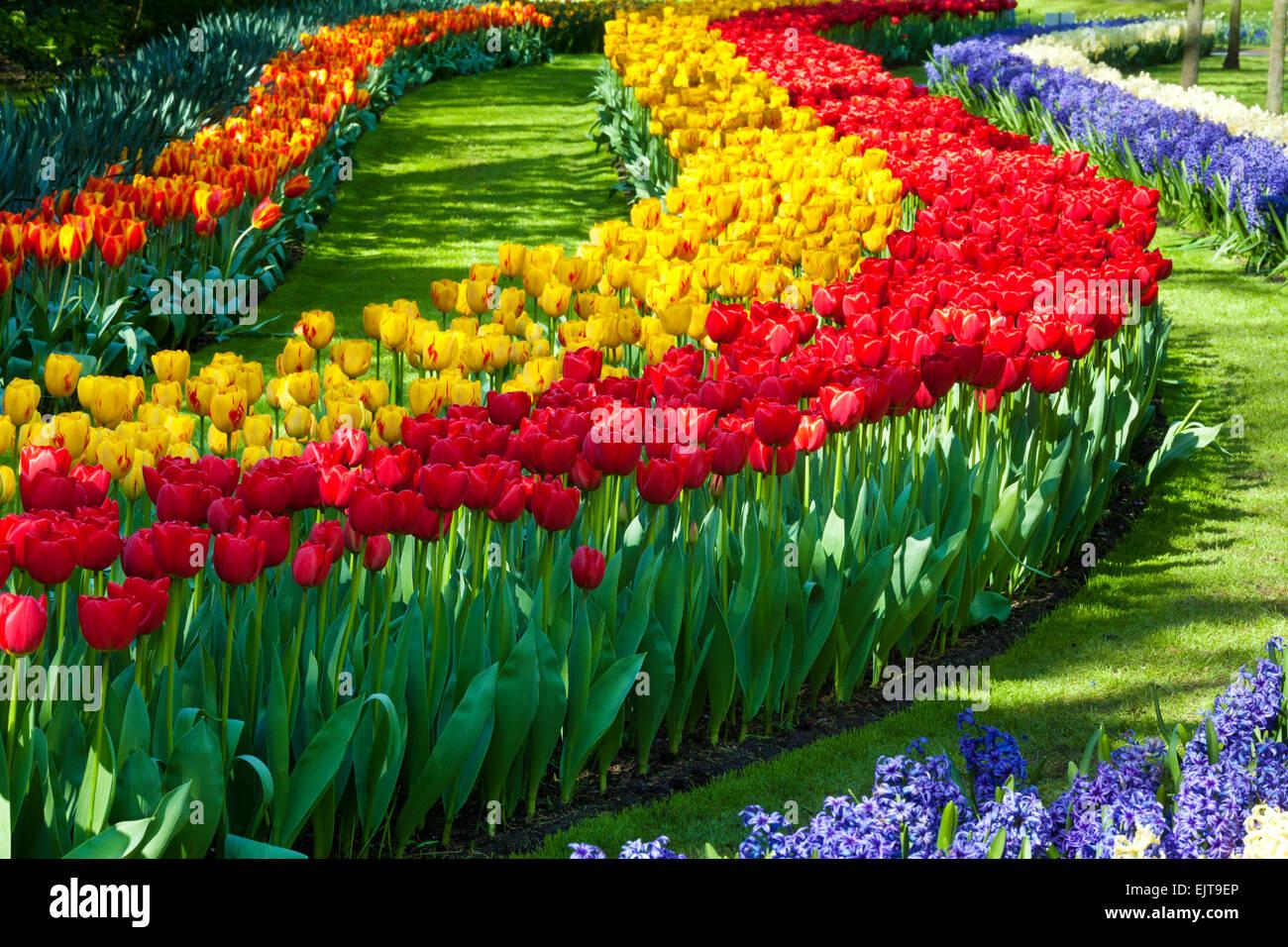 Tulips in Keukenhof Gardens, Netherlands - Stock Image