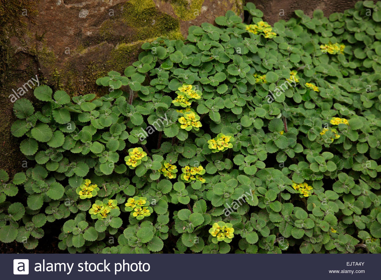 Ground Cover Garden Plant Yellow Flower Stock Photos Ground Cover