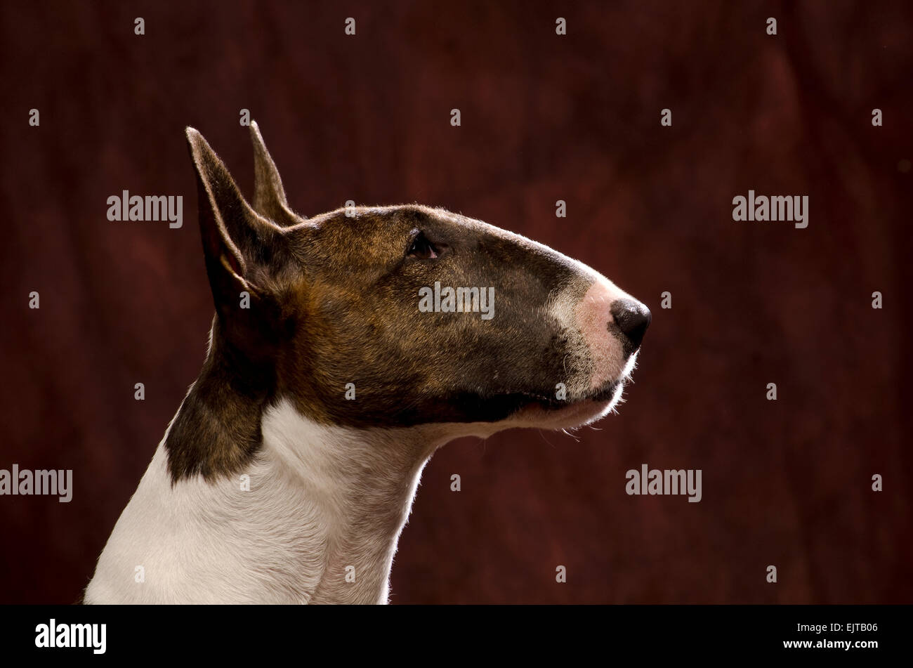 profile head shot of a bull terrier - Stock Image