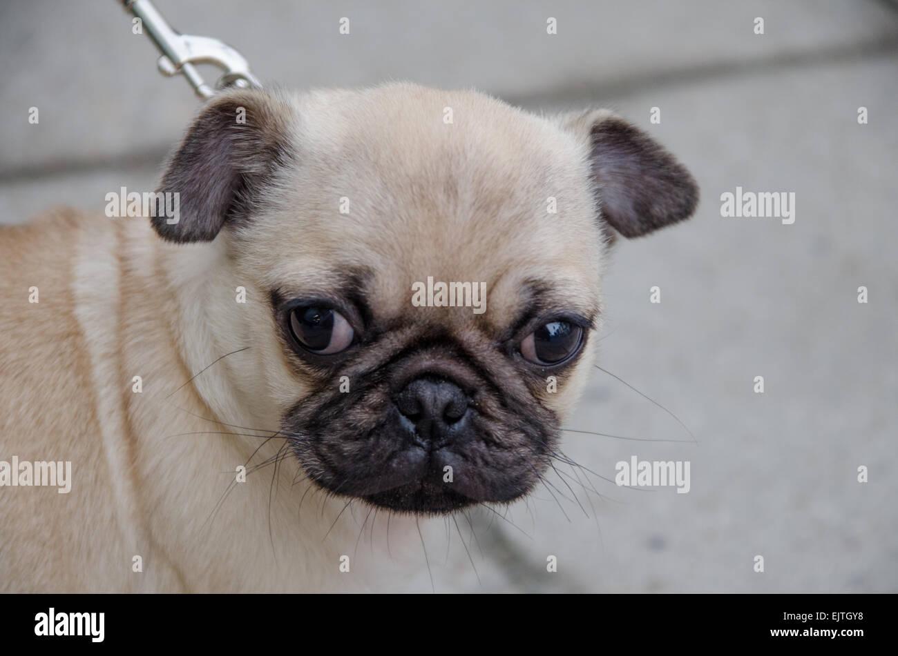 Pug puppy close up - Stock Image