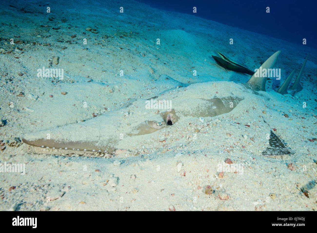 Rhynchobatus djiddensis, Giant guitarfish, Fish Head, Ari Atoll, Maldives, Indian Ocean - Stock Image
