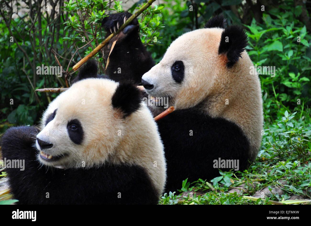A pair of Giant Pandas enjoying bamboo at the National Panda Reserve at Chengdu, ( The capital of Sichuan )China Stock Photo