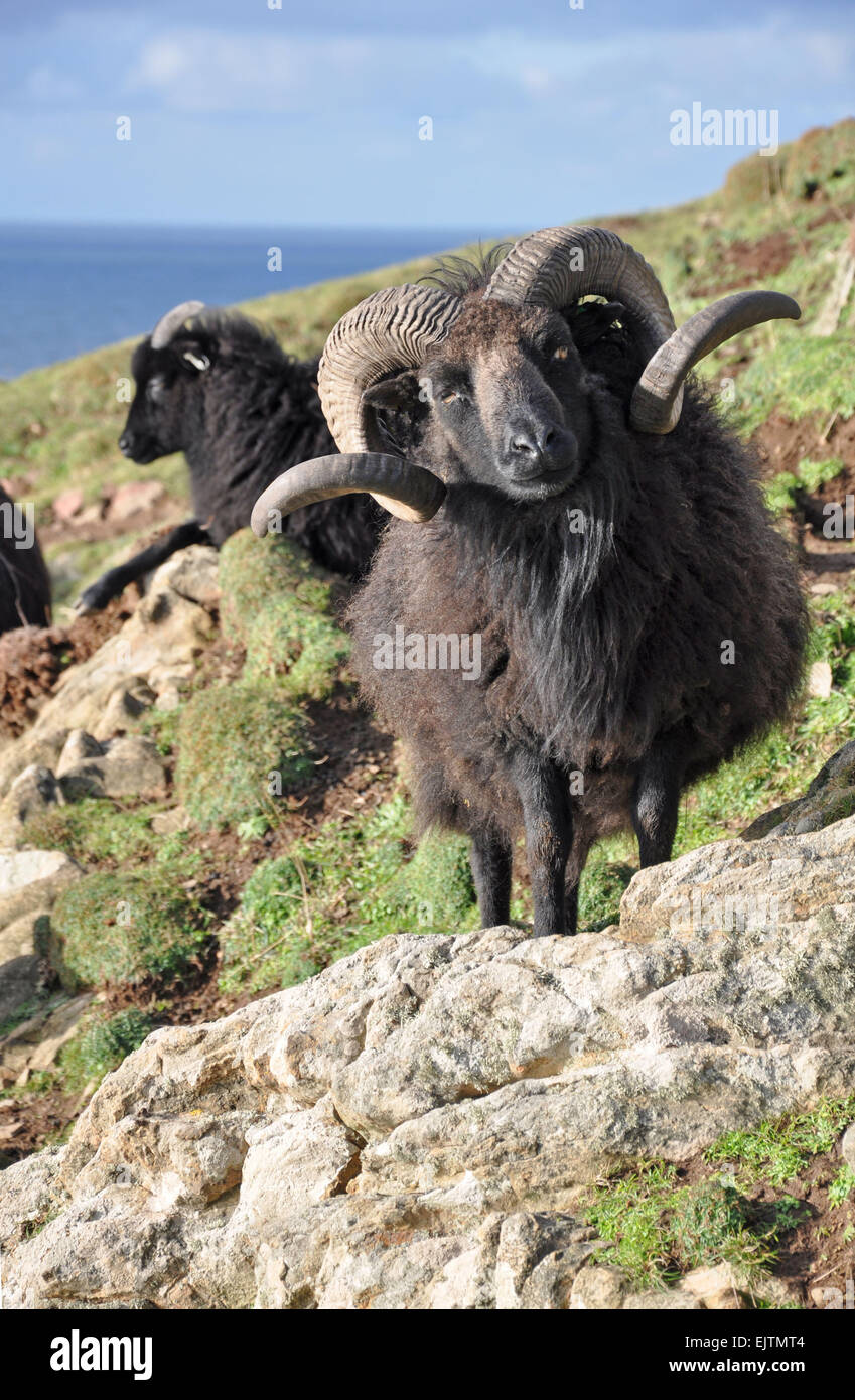 Hebridean sheep Known at a  breed this animal lives on the wild slopes on Baggy Point in North Devon, Exposed to - Stock Image