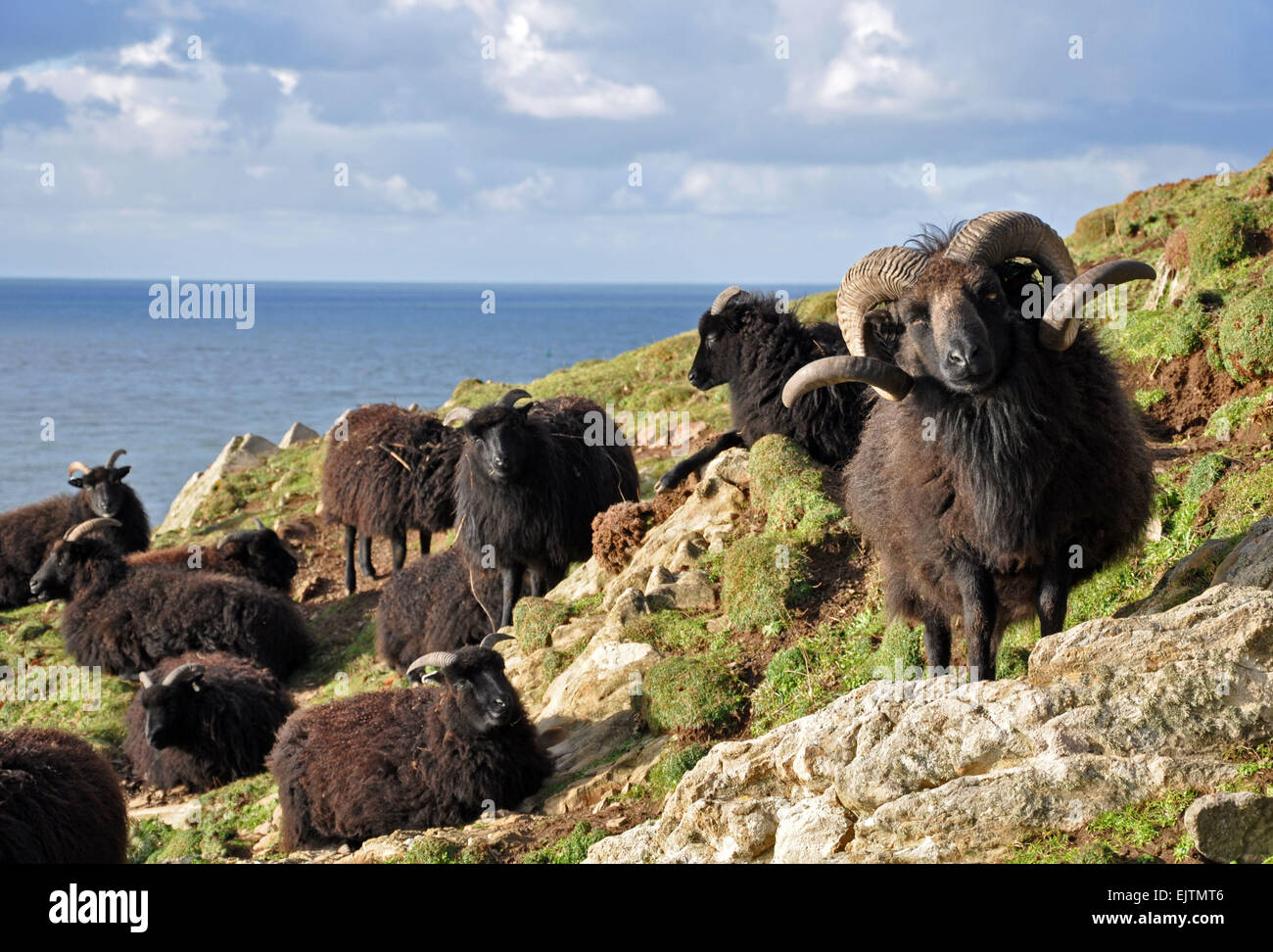 Hebridean sheep, Known as a hardy breed this animal lives on the wild slopes at Baggy Point, Croyde in North Devon, - Stock Image
