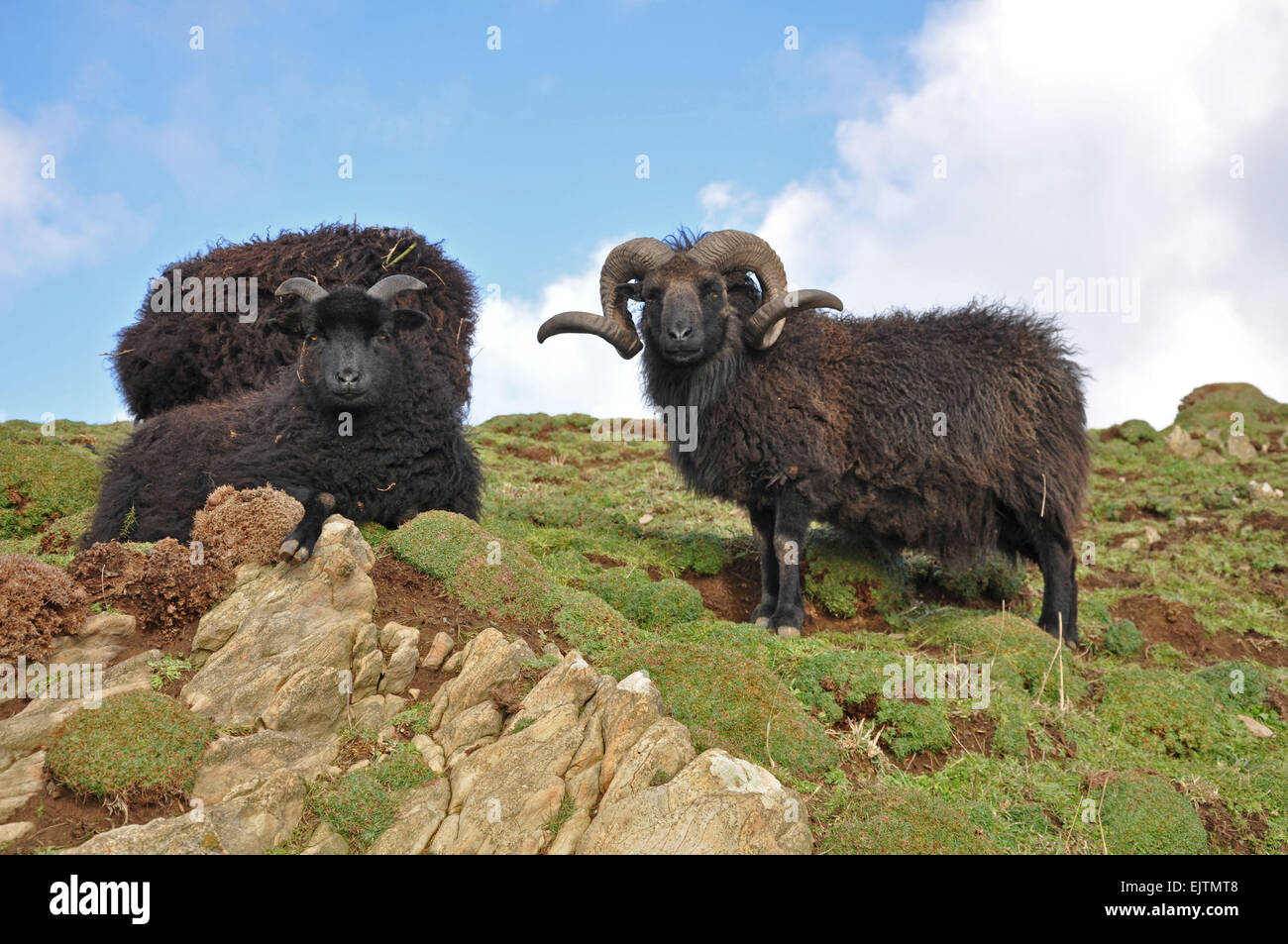 Hebridean sheep, Known as a hardy breed this animal lives on the wild coast of Baggy Point at Croyde, North Devon, - Stock Image