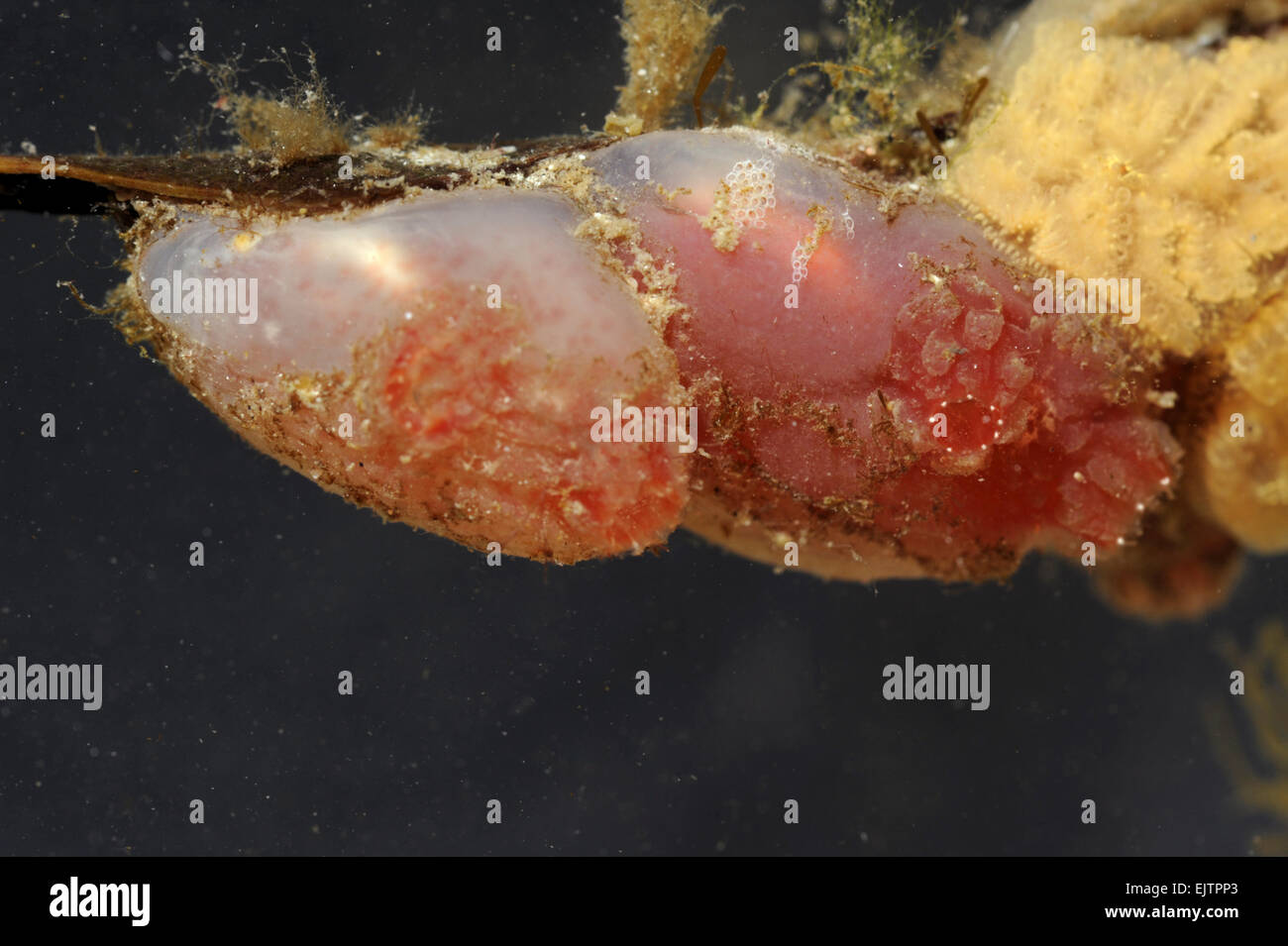 Ascidia mentula - Sea Squirt - Stock Image