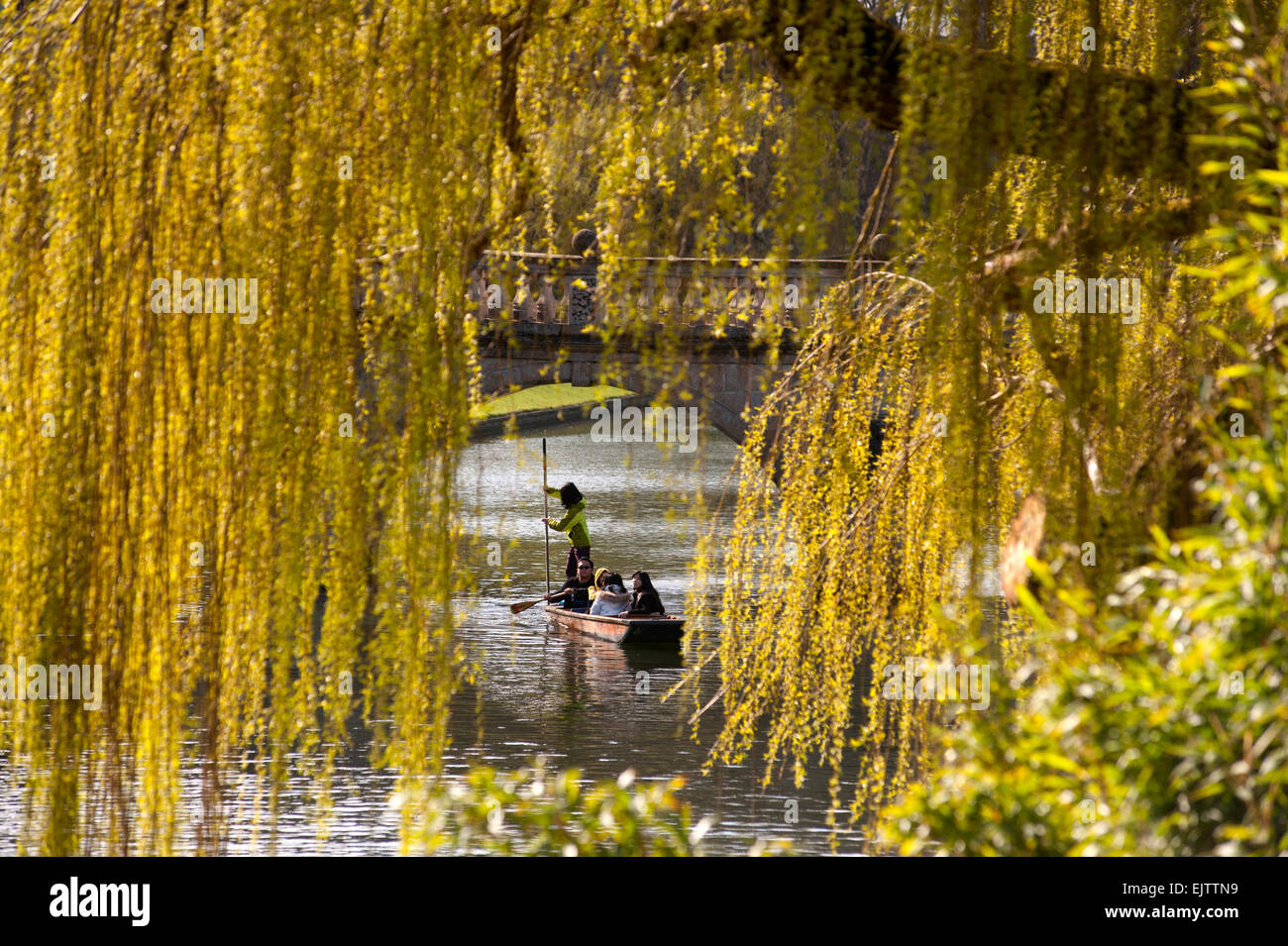 Cambridge, UK. 01st Apr, 2015. Punting through the Spring Willows on the River Cam in Cambridge, England,UK. 1st - Stock Image