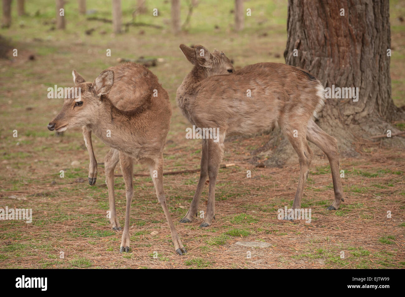 Two Nihon Shika (Sika Deer) amongst the trees at the Nara Deer Park, where they are considered messengers of the - Stock Image