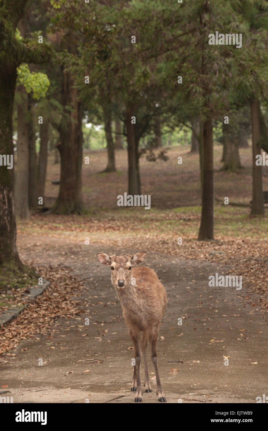 A Japanese deer (Nihon Shika or Shika Deer) at the deer park in Nara, Japan. - Stock Image