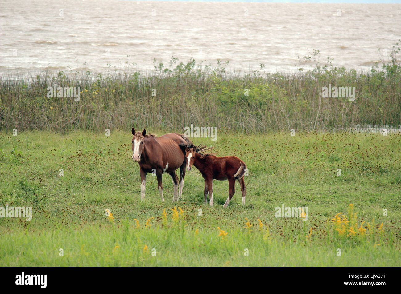 The mare and her little cub in the field. - Stock Image