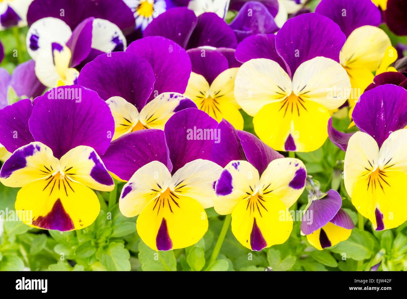 Viola flowers 'Violet Sorbet', UK. - Stock Image