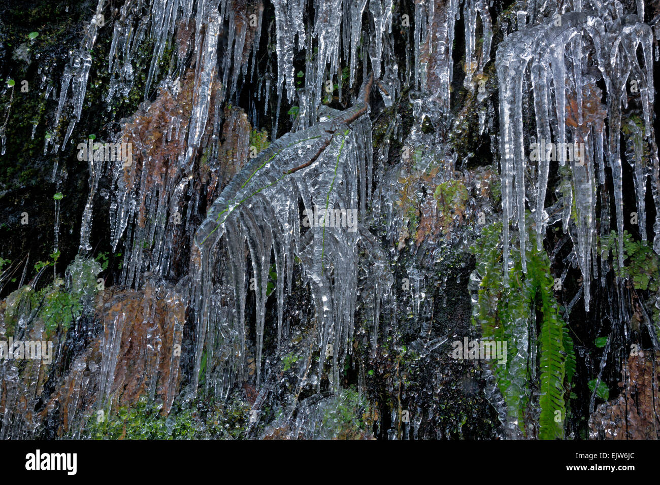 OREGON - Water dripping off a cliff has frozen to encase ferns and leaves along trail to North Falls in Silver Falls Stock Photo