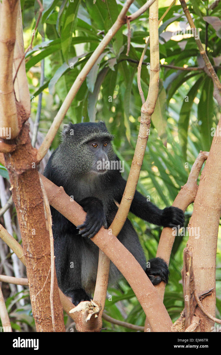 A blue diademed monkey, Cercopithecus mitis, between the branches in Lake Manyara National Park, Tanzania. This - Stock Image