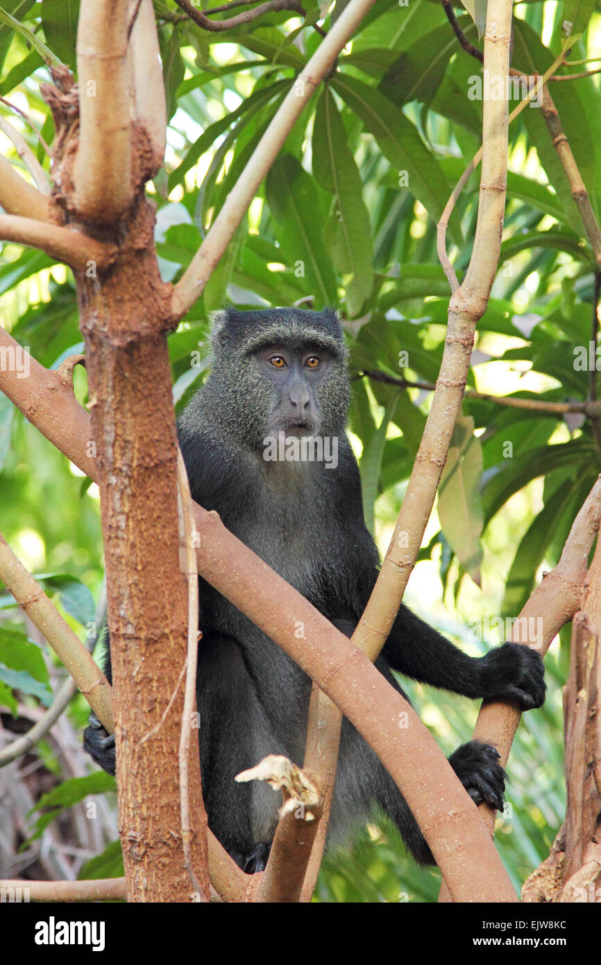 A blue diademed monkey, Cercopithecus mitis, on a tree in Lake Manyara National Park, Tanzania. This primate can - Stock Image