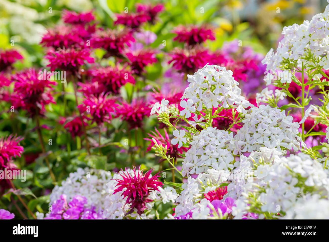 White garden phlox and bee balm in the summer garden. - Stock Image