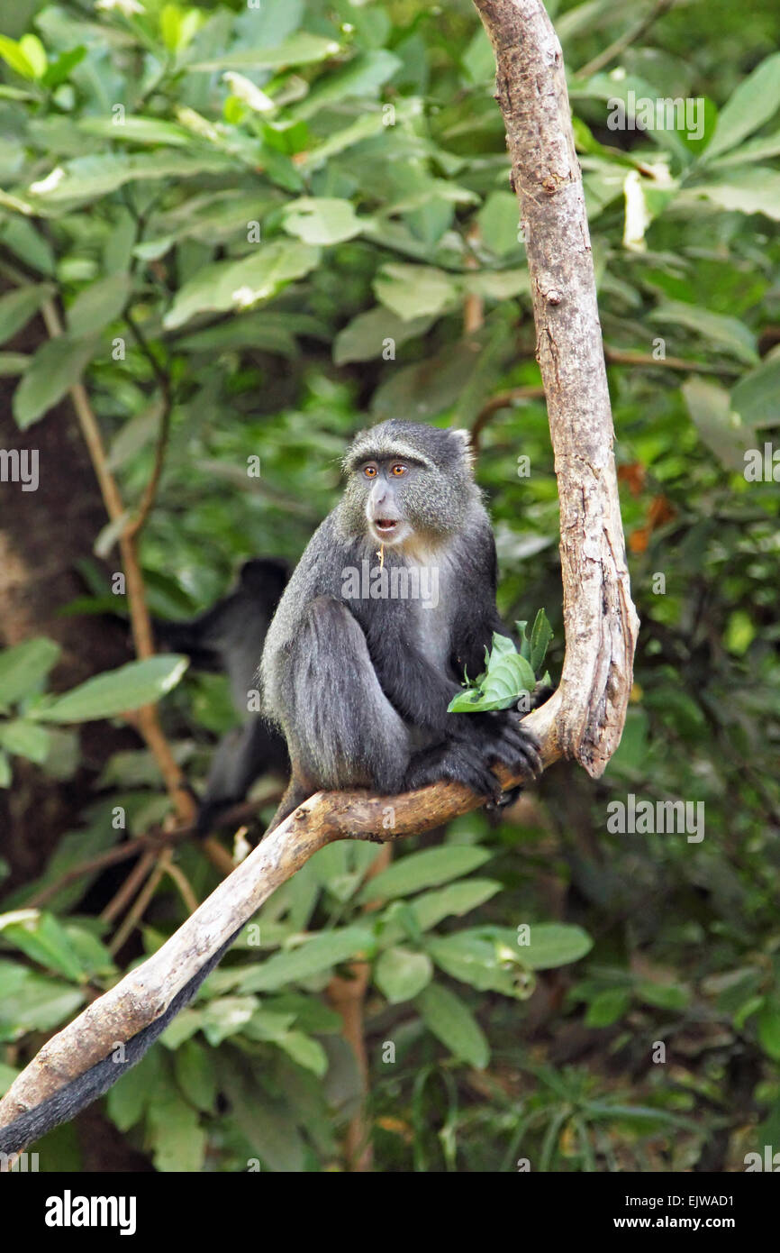 A blue diademed monkey, Cercopithecus mitis, on a branch in Lake Manyara National Park, Tanzania. This primate is - Stock Image