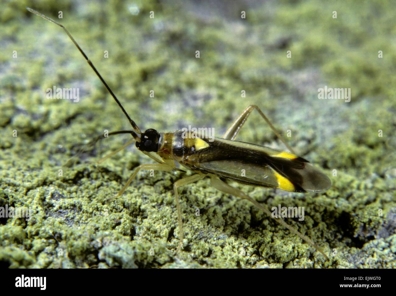 Capsid Bug - Campyloneura virgula - Stock Image