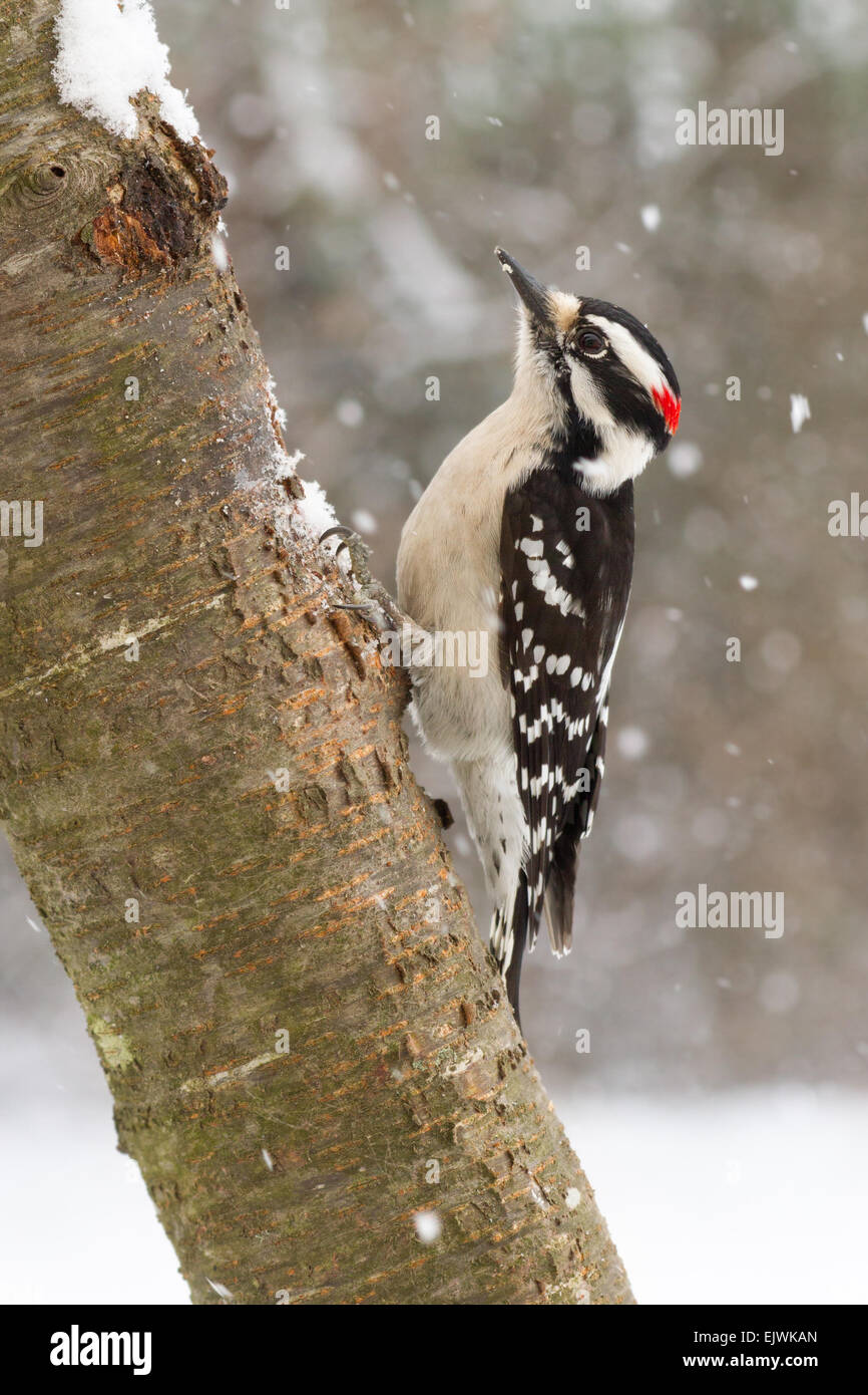 Downy Woodpecker Male And Female