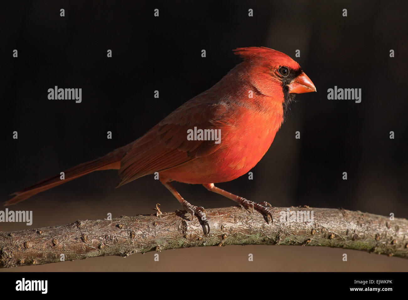 Northern Cardinal in afternoon light - Stock Image
