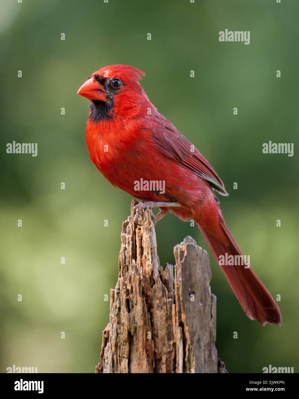 A northern cardinal perched in early morning. - Stock Image