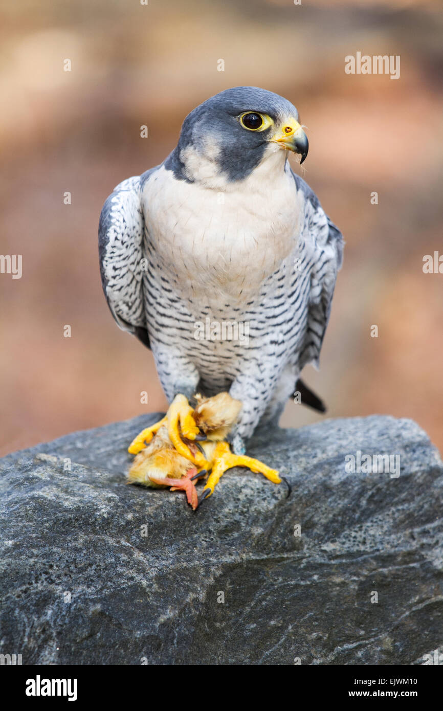 A peregrine falcon eating a young chicken. - Stock Image