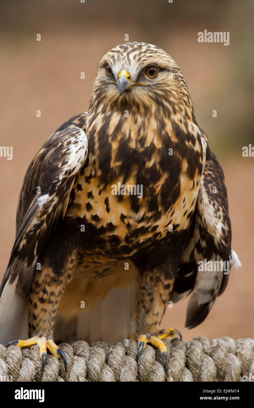 A rough-legged hawk perched on a rope. - Stock Image