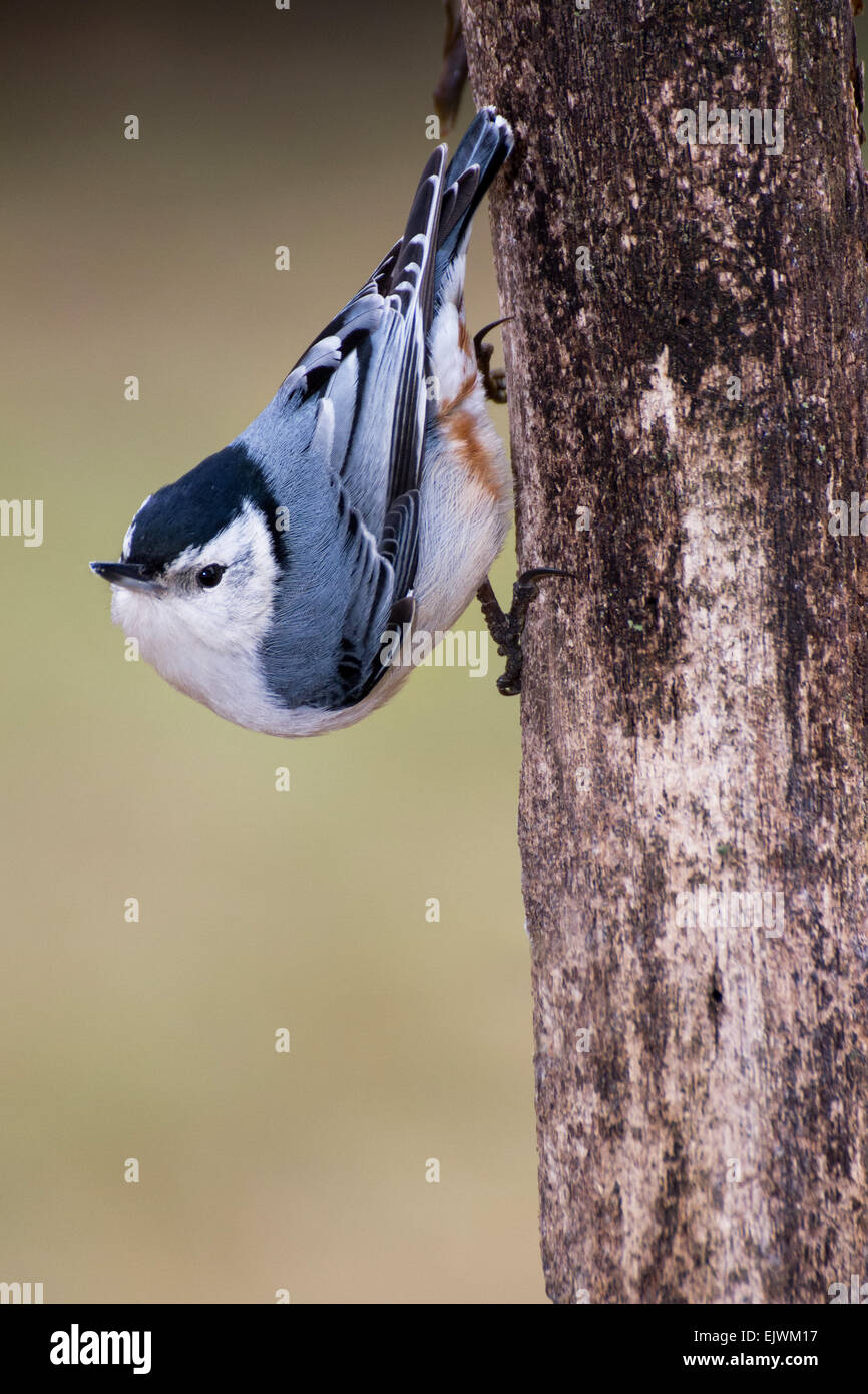 A white-breasted nuthatch pauses along a tree trunk. - Stock Image