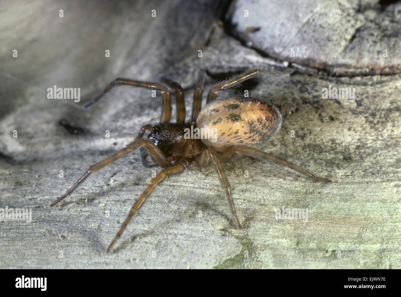Lace-weaver Spider - Amaurobius similis - Stock Image