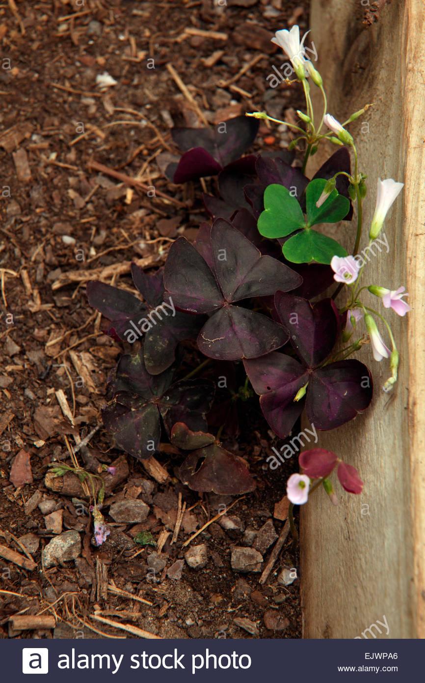 Common Garden Weeds - Oxalis triangularis - originally introduced as ...