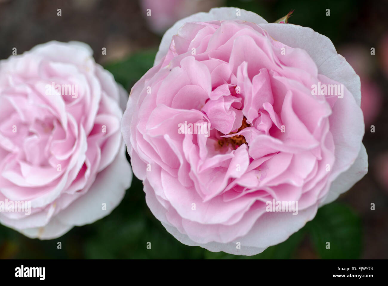 Rosa Princes Claire van Belgie Stock Photo