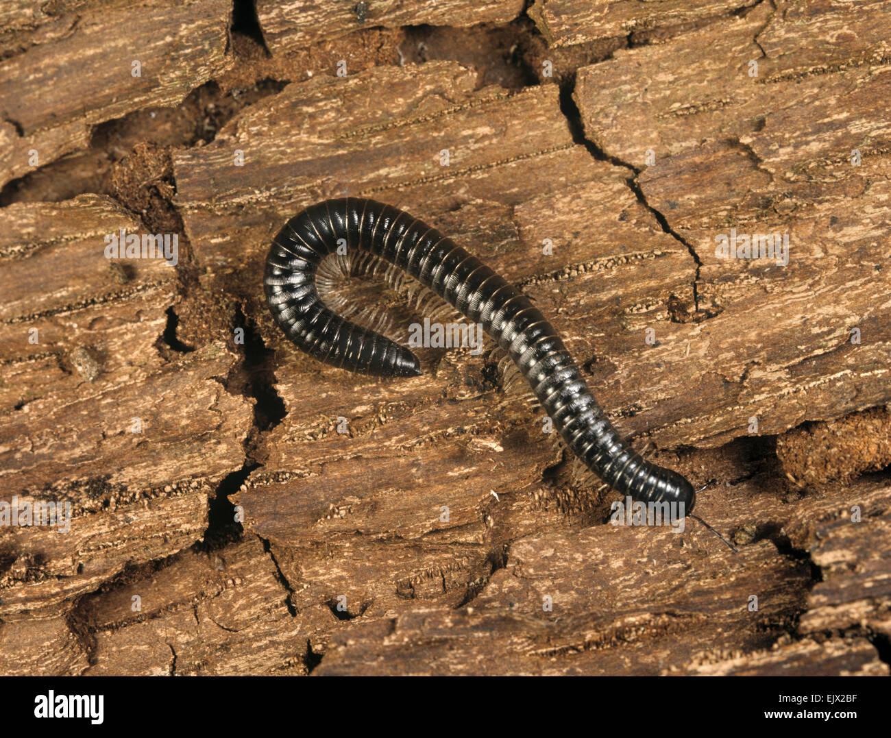 The Black Millipede - Tachypodoiulus niger - Stock Image