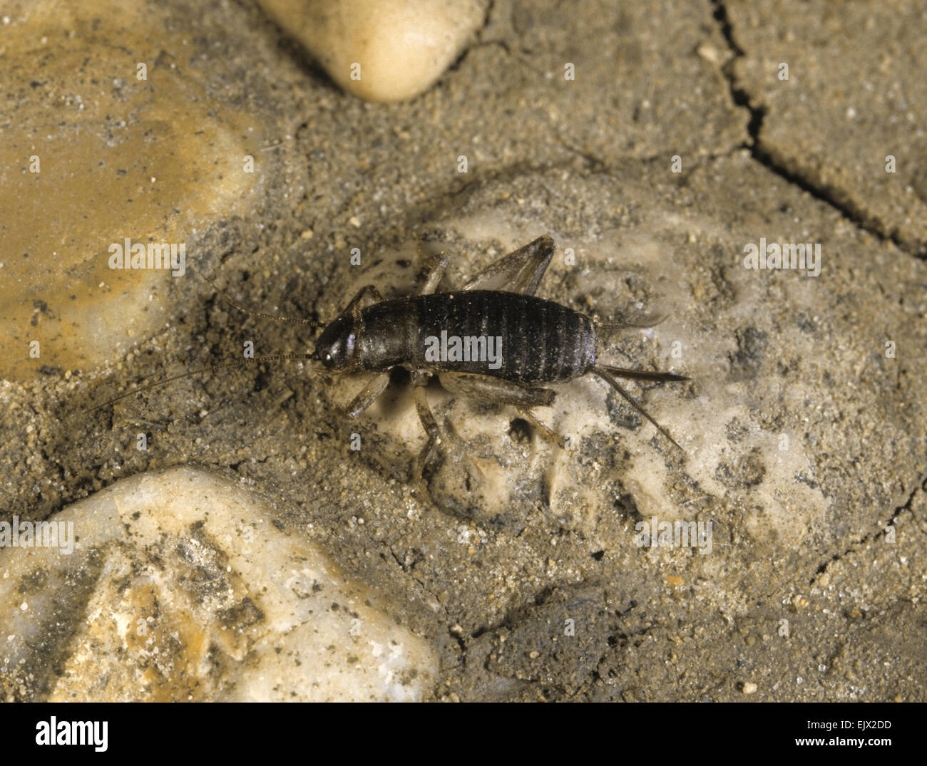 Scaly Cricket - Pseudomogoplistes vincentae - Stock Image
