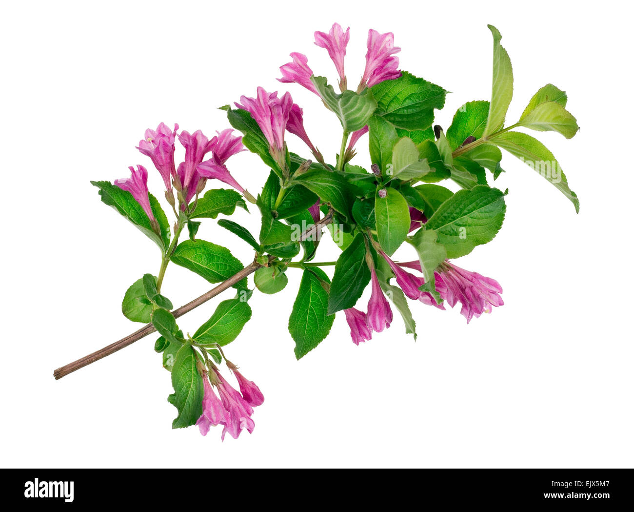 Ideal green bush spring branch with magenta buds   isolated - Stock Image