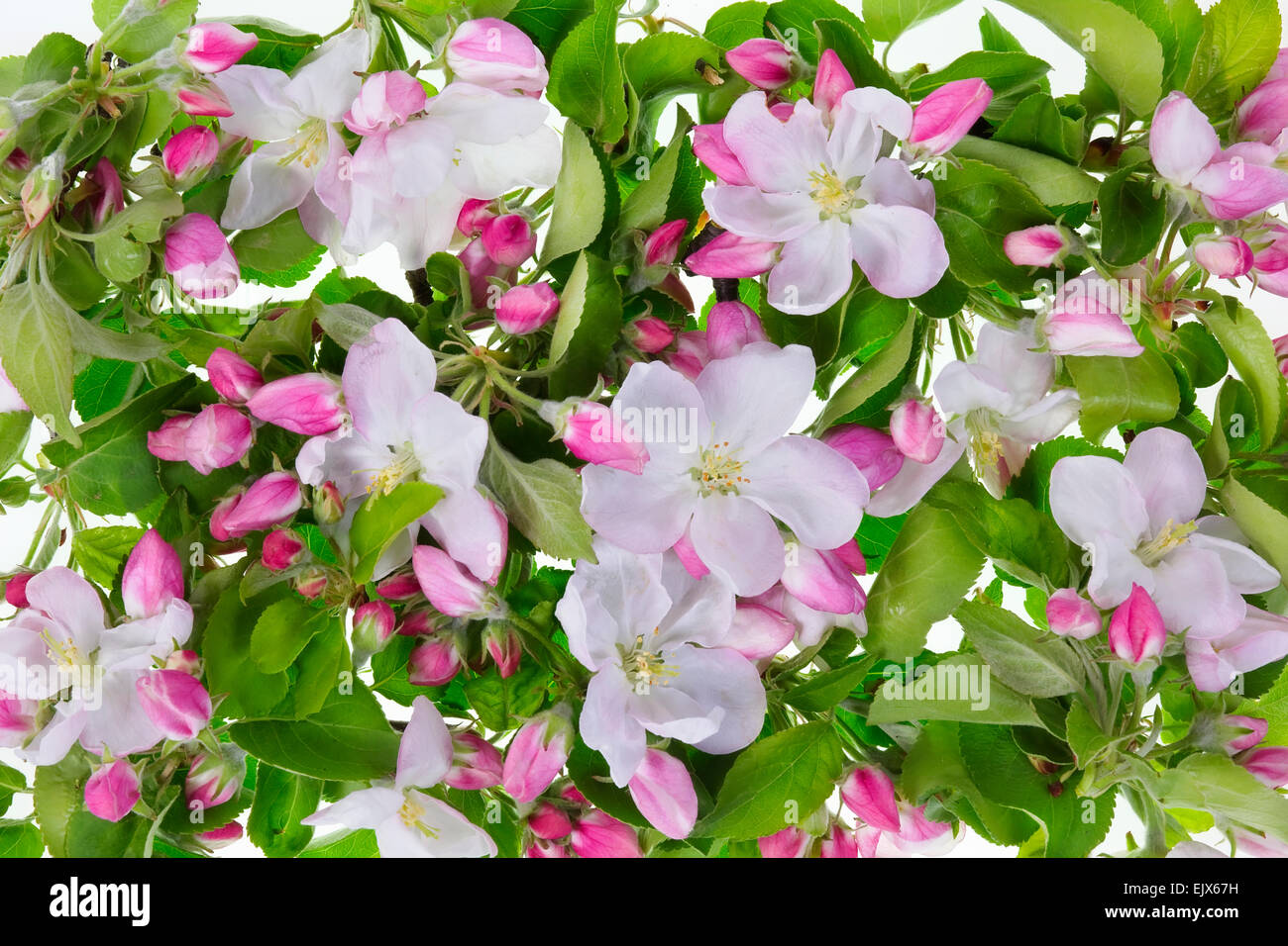 Spring Macro Background From Real Natural Pink Flowers And Gren Leaves