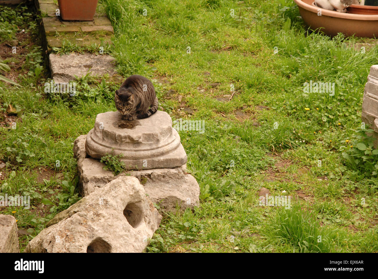 Feral cat on a section of ruined column, Aria Sacra, Rome. - Stock Image