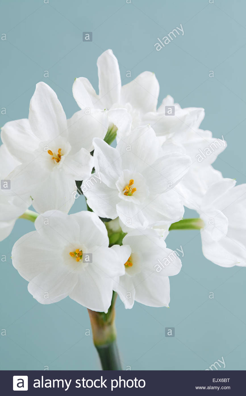 Narcissus papyraceous 'Paper White' - Daffodil - March, April - Stock Image