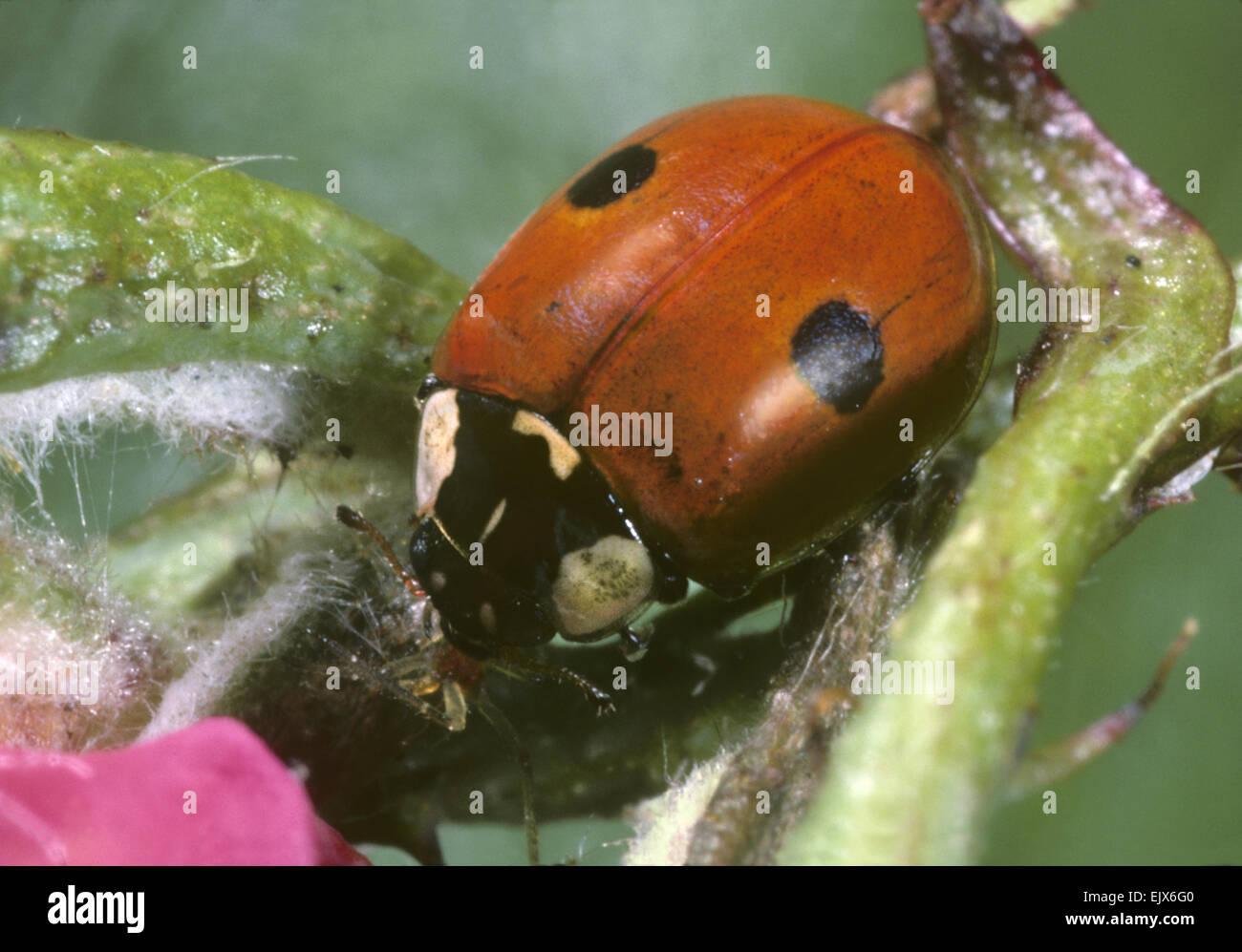 2 Spot Ladybird Adalia Stock Photos
