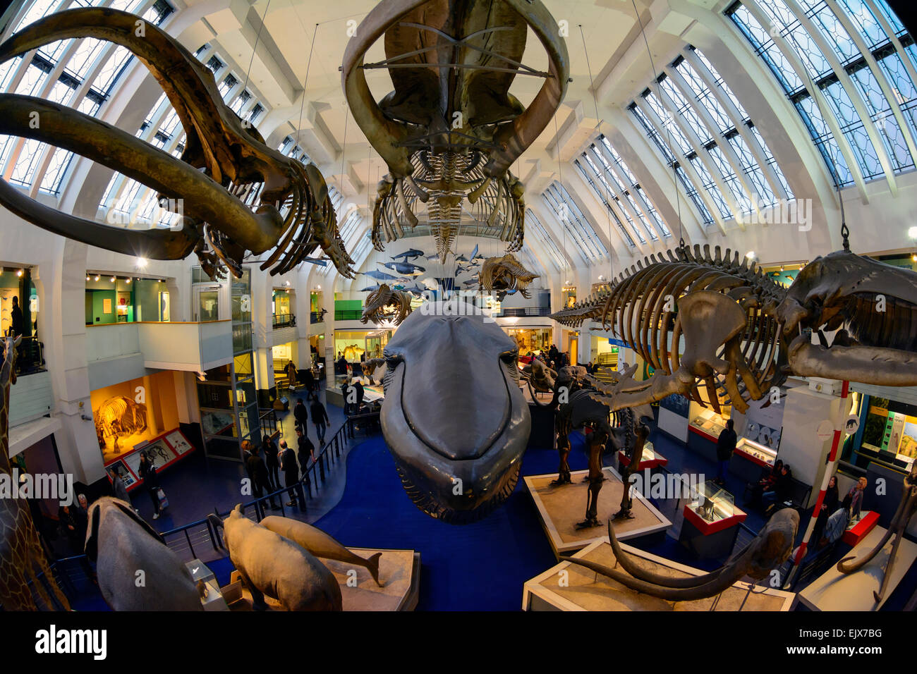 The interior of the Natural History Museum, London, United Kingdom. - Stock Image