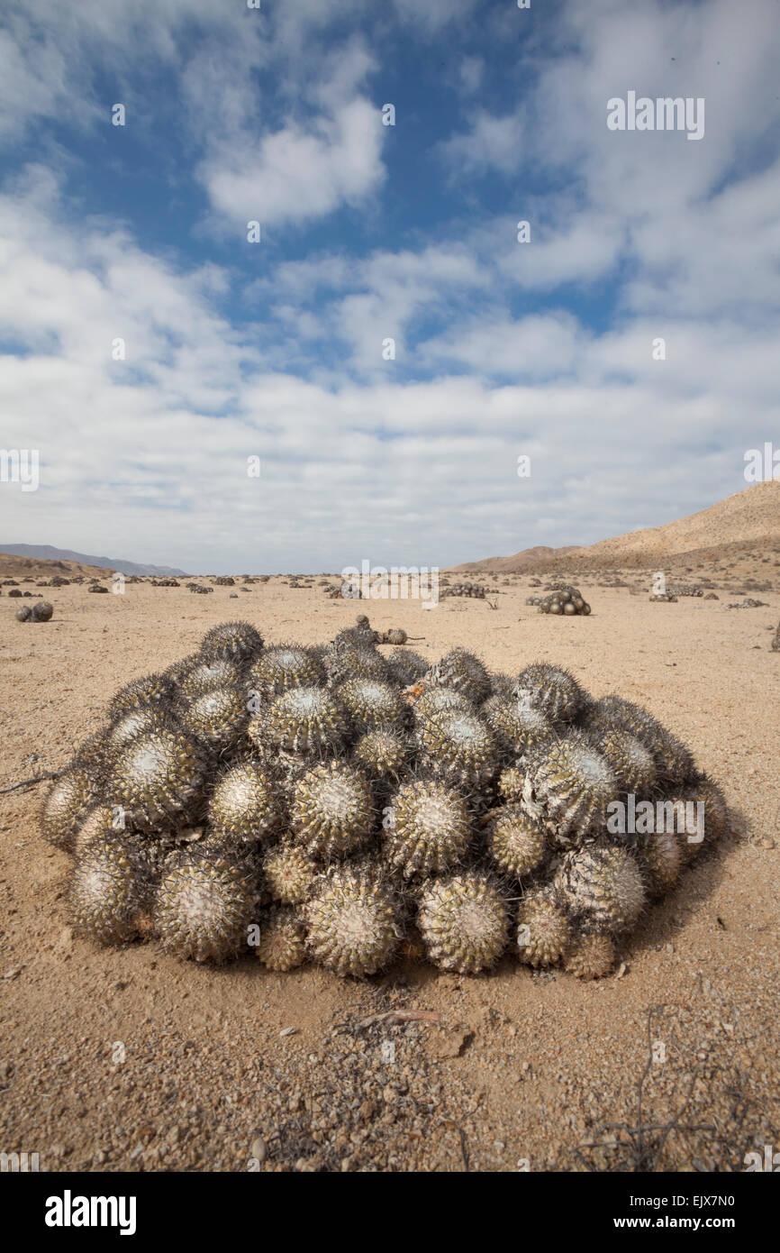 Copiapoa cinerascens in the arid coastal plain at Pan de Azucar, (below the fog bank) - Stock Image