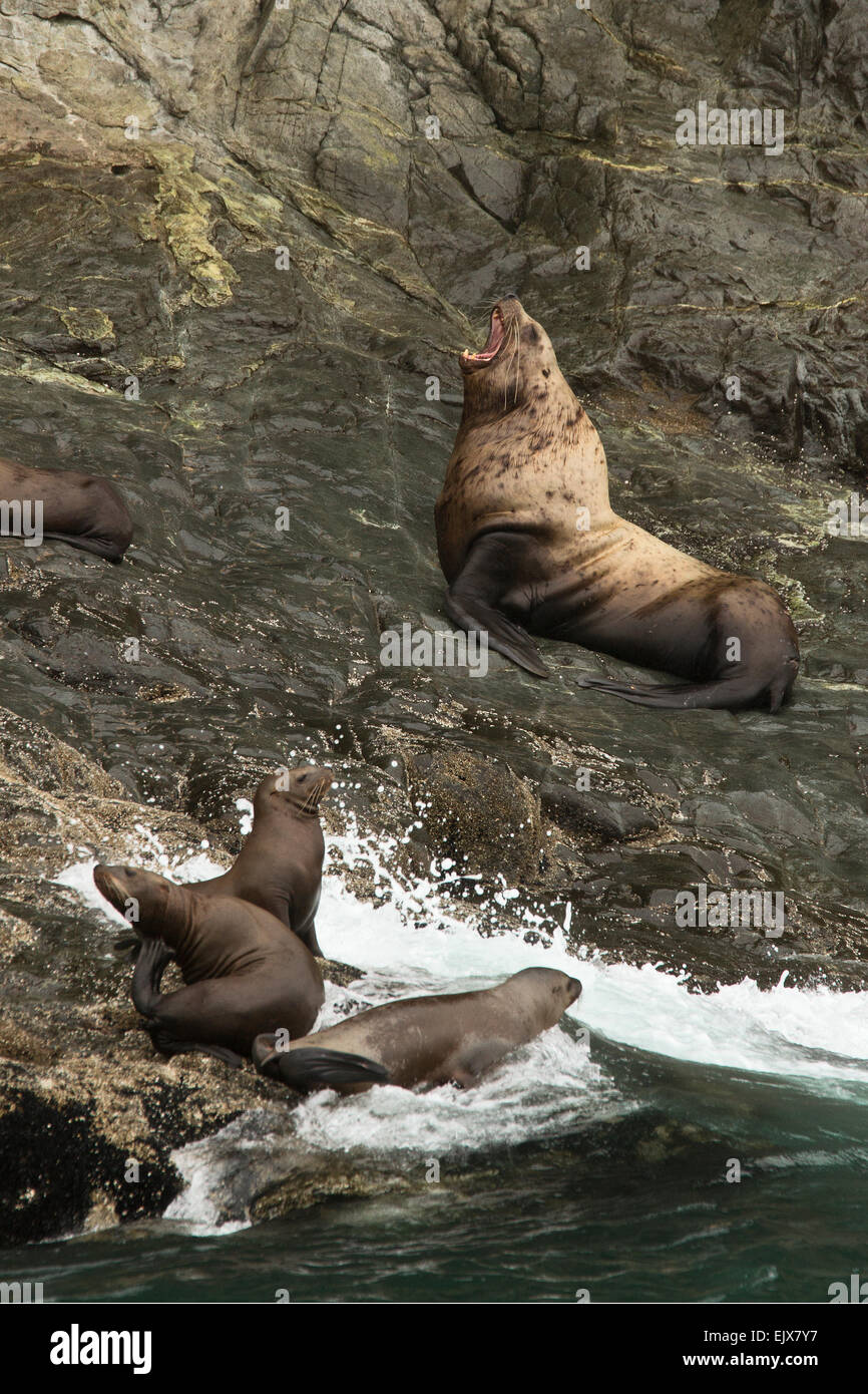 Stellar sea lions in Kenai Fjords National Park, Alaska - Stock Image