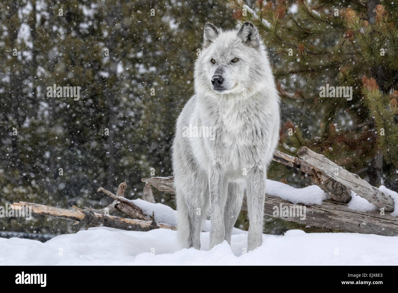 Gray Wolf in winter snow - Stock Image
