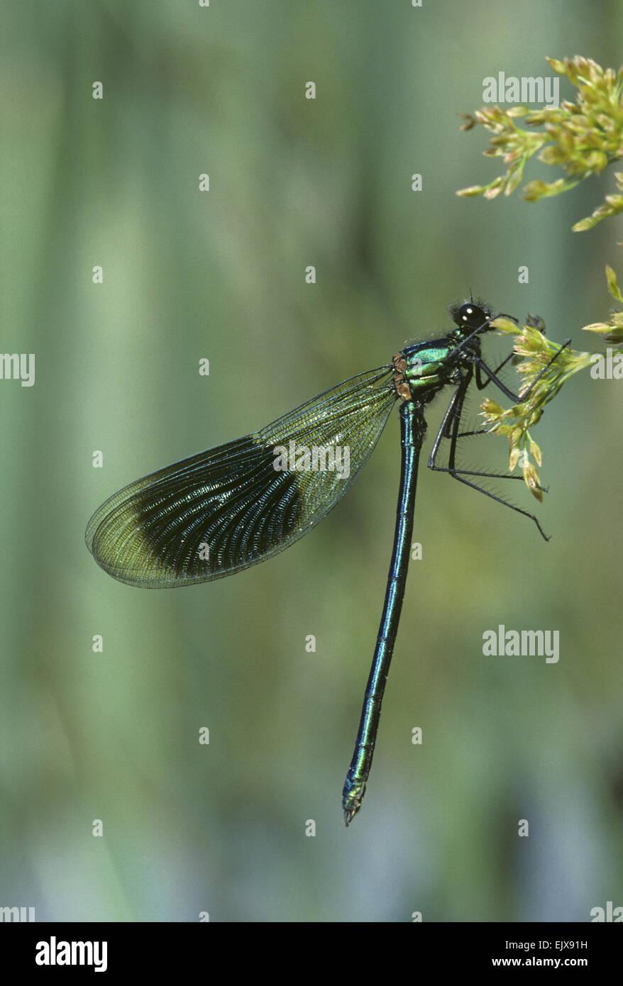 Banded Demoiselle - Calopteryx splendens Stock Photo