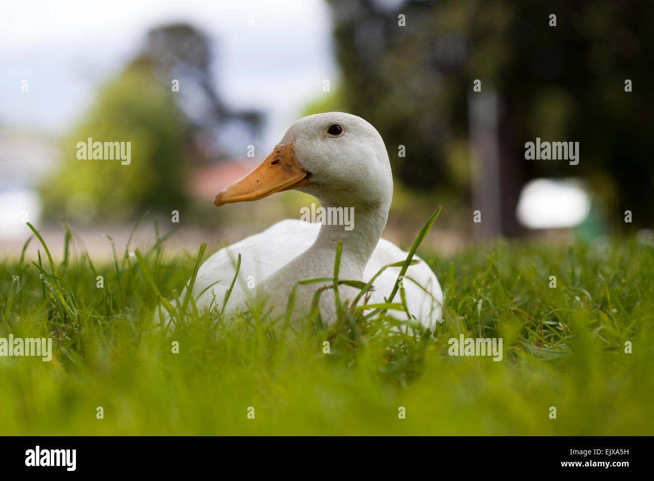 White duck sitting in green grass - Stock Image
