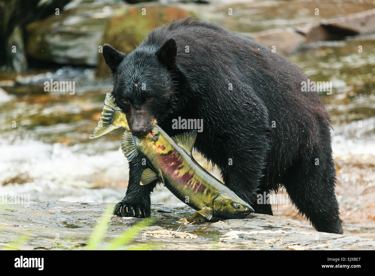 Black bear. - Stock Image