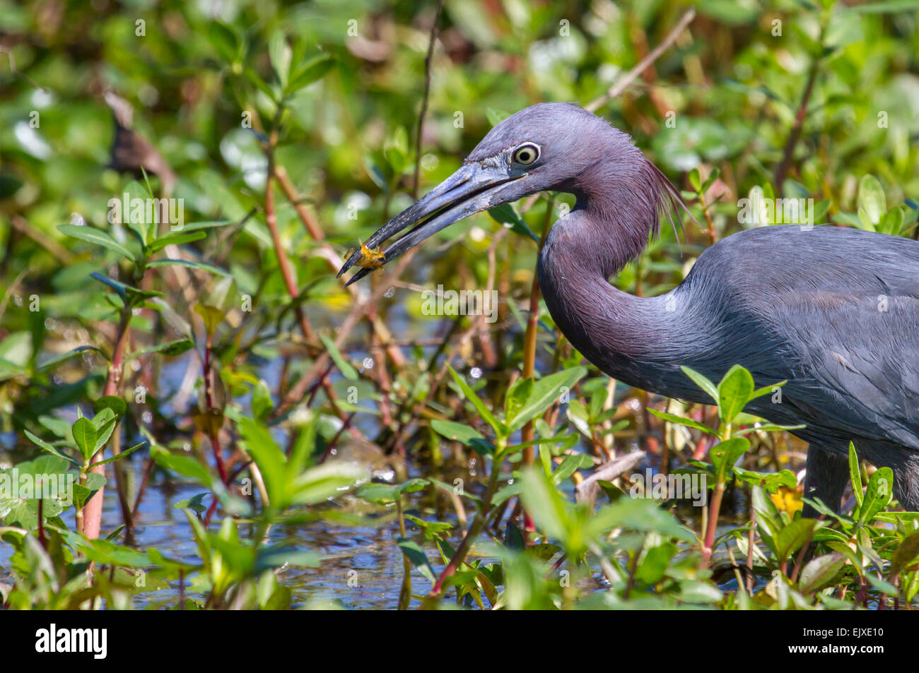 Little blue heron (Egretta caerulea) with caught shrimp in a swamp, Brazos Bend state park, Needville, Texas, USA. - Stock Image
