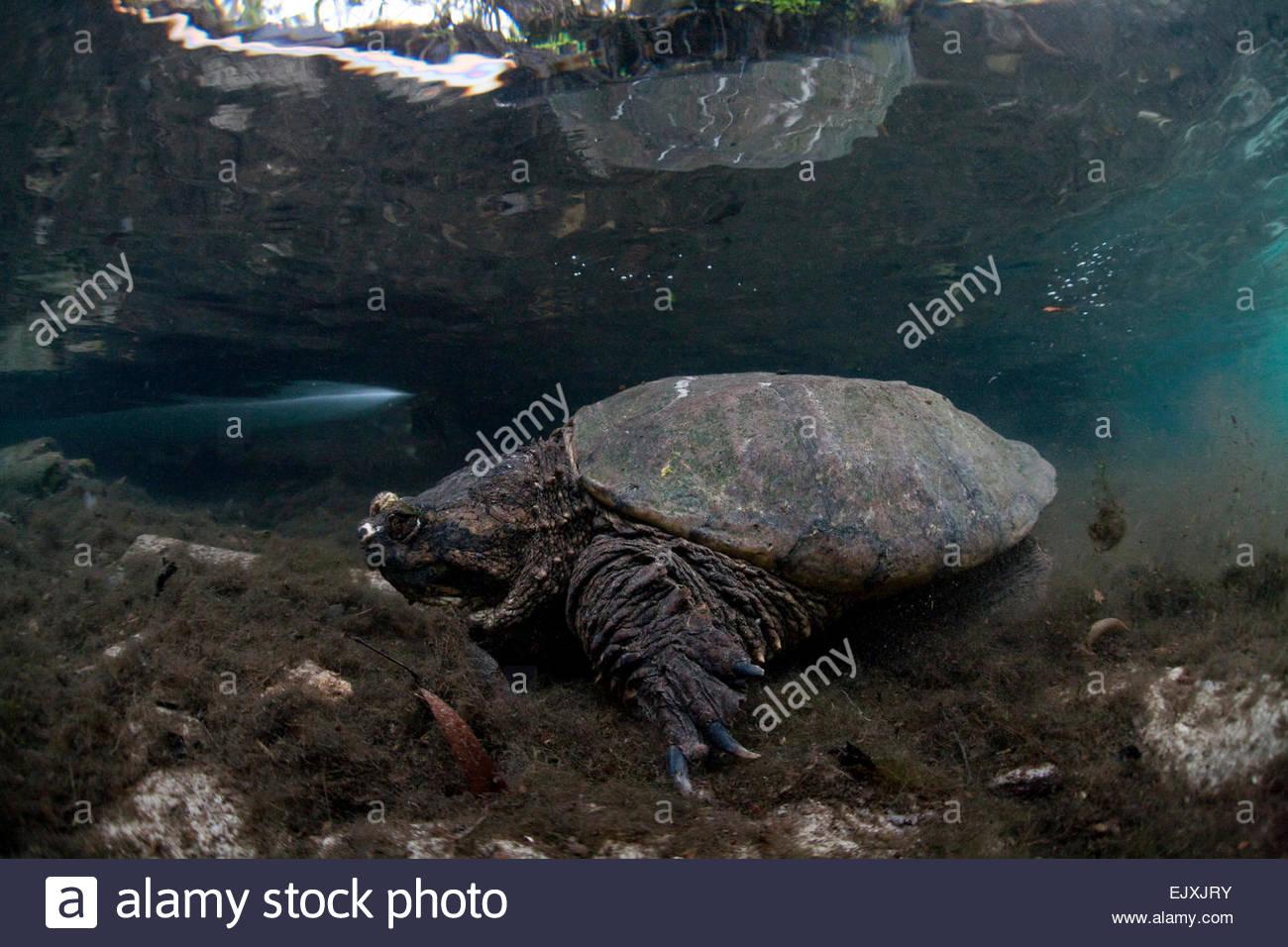 USA, Florida, Crystal River, common snapping turtle Stock Photo