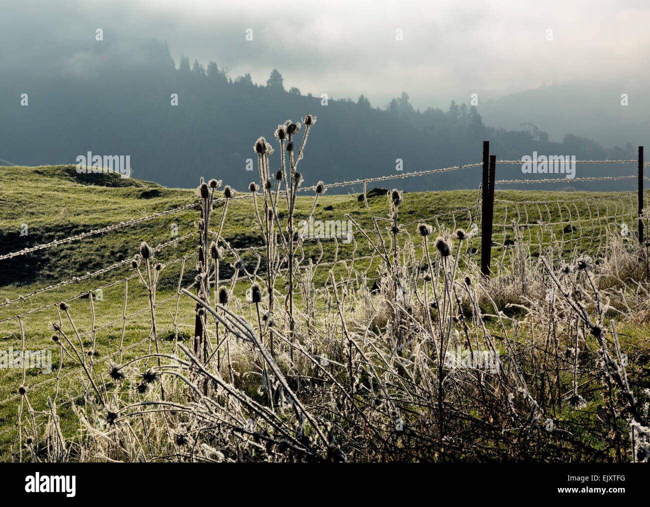 OR02090-00...OREGON - Frost covered thistles along a barbwire fence in the North Fork Umpqua River Valley. - Stock Image