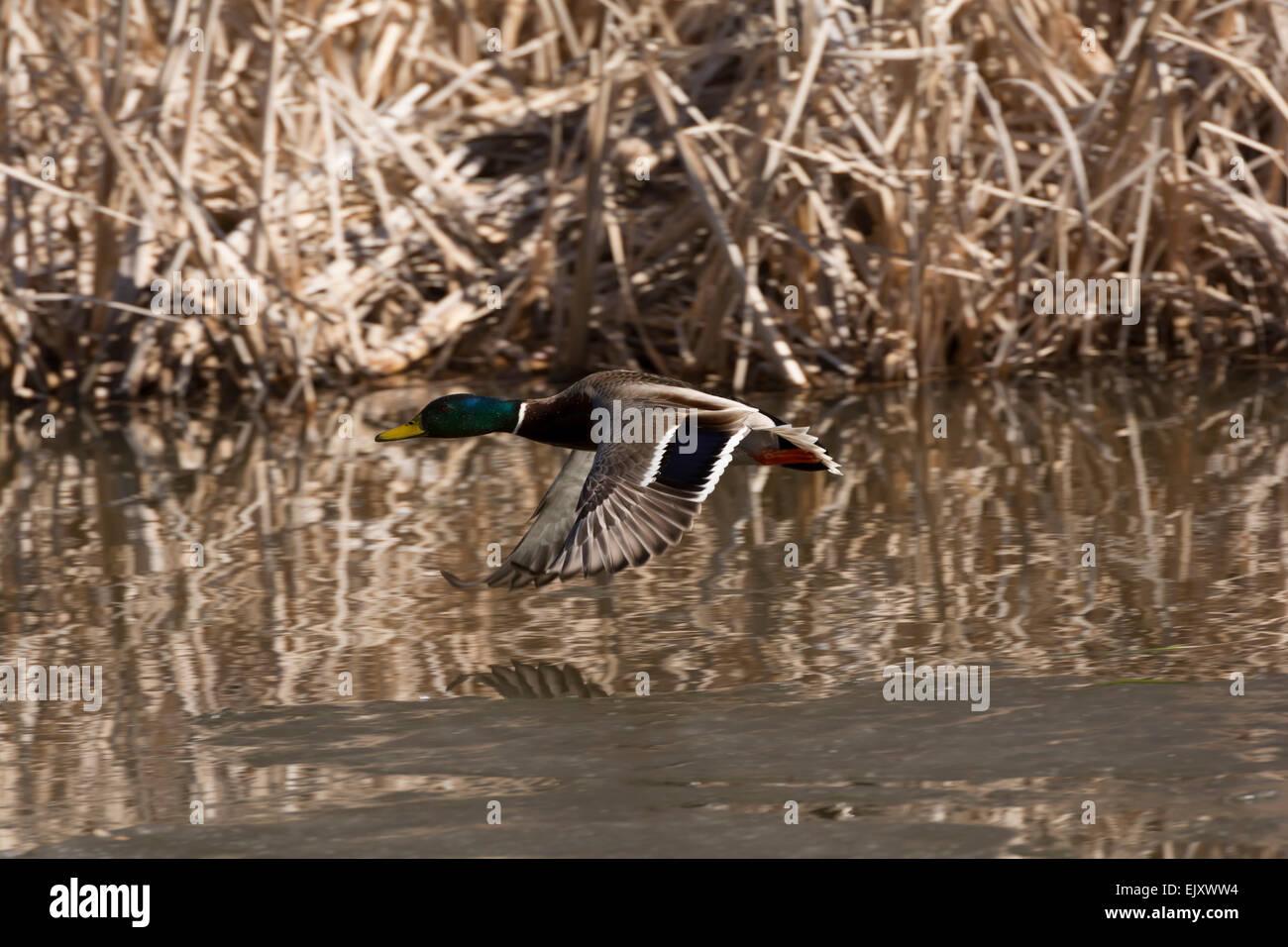Mallard duck flying. - Stock Image