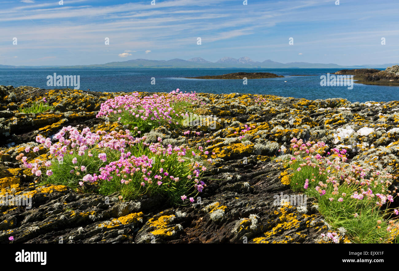 gigha shore with thrift and rocks - Stock Image